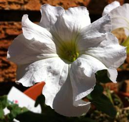 White Petunia by Kahdrim