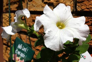 White Petunias by Kahdrim