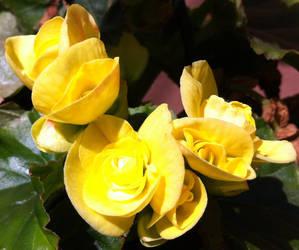 Yellow Malvas by Kahdrim