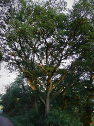 Sun Ray on Tree by CyranoInk