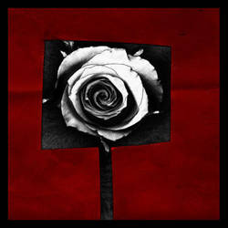 Rosa, Recorte by greysmith