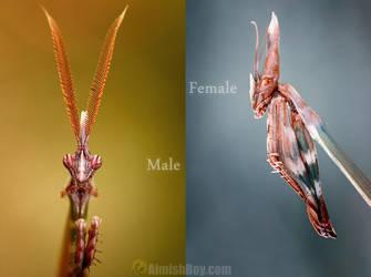Empusa Fasciata - Praying Mantis by AimishBoy