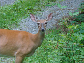 Deer outside my house by Trail-er