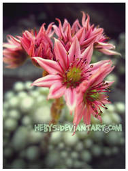 Pink Flower by hebys