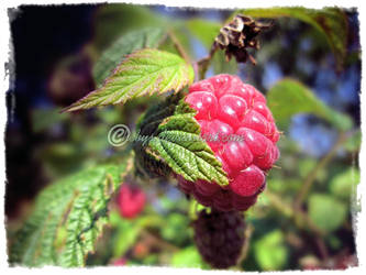 Sweet Raspberry by hebys
