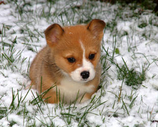 Baby Snow Corgi by InADream