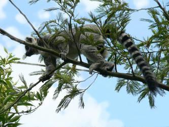 Lemur by Ransil