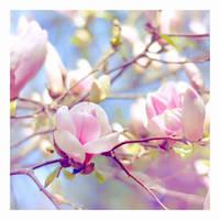 magnolia by impatienss