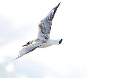 Baltic Gull by dhorka