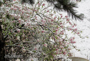 Magnolia in snow by NelEilis