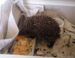 Baby hedgehog by NelEilis