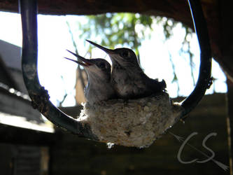 Baby Hummingbirds VII by CelerisSagitta