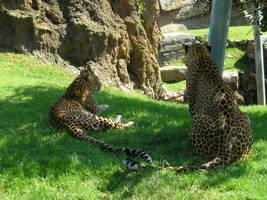 Leopardos by aeli9