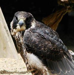 Peregrine Falcon 1 by seto2112
