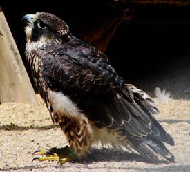 Peregrine Falcon 2 by seto2112