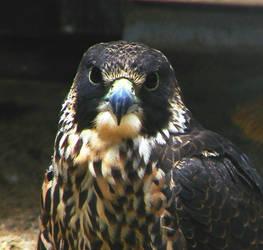 Peregrine Falcon 3 by seto2112