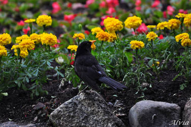 Bird Album 19- Blackbird posing by Alvia