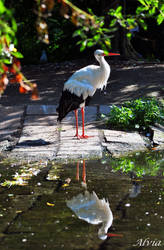 Bird Album 20- His Reflection by Alvia