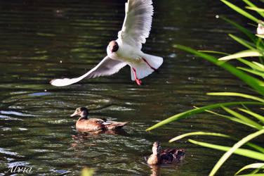 Bird Album 21-  Black-headed Gull by Alvia