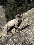 big horn sheep by Abbiee1211