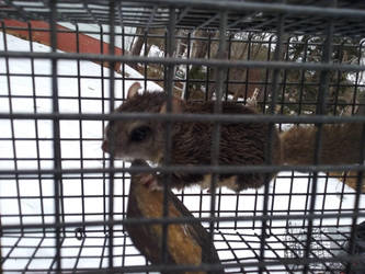 This flying squirrel was in my house somewhere... by Tiggidou