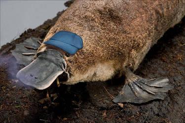 Cighat Platypus by dox111