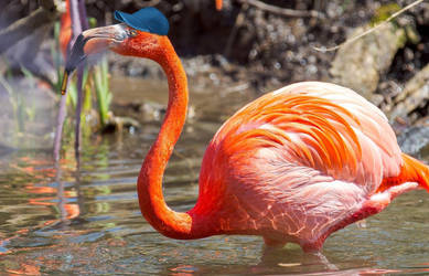 Cighat Flamingo by dox111