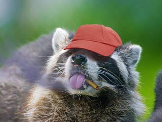 Cighat Raccoon by dox111