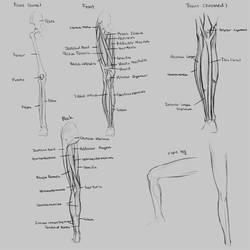 Anatomy Leg by Renevatia