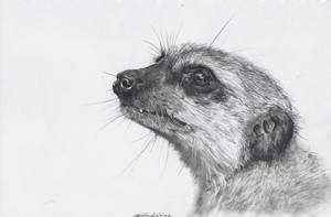 Meerkat by UmbraAtramentum