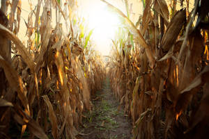 Coming Through The Corn 1 by deathbycanon-stock