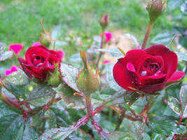 Red roses by Lisa99