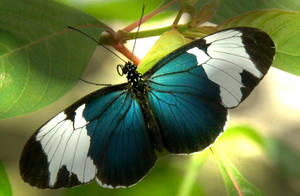 Blue Butterfly by Cyliania