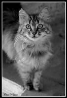 Tekirdag Cat by jevigar