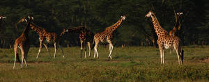 Giraffes by X2-Glory