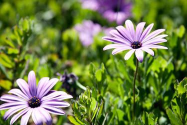 Purple Petals by richardxthripp