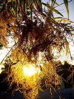 Sunshine 22: Rooty Sunshine by richardxthripp