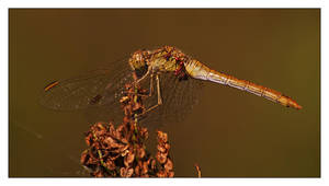 dragonfly with eggs by Soczi