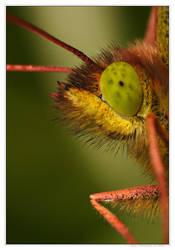 Lord butterfly by Soczi