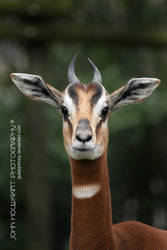 Mhorr Gazelle by guitarjohnny