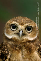 Burrowing Owl by guitarjohnny