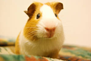 Emerson the guinea pig by theowlnet