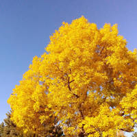 Yellow Tree Against Sky by SerenAletheia