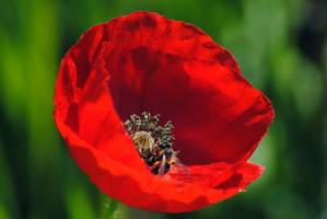 Papaver y abeja by elminino