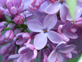 Lilac by ErinMariel