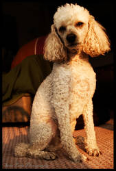 The Poodle by rollingphotographer