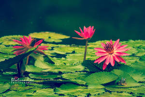 Water lilies.. and a friend by BlueLunarRose