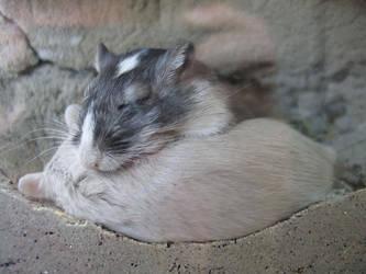Sleeping Gerbils by cdegroot