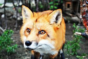 Fox by chloravirgo