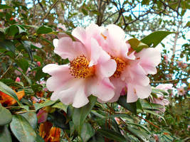 Pink Camellia by Calypso1977